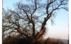Sur les traces des arbres remarquables des Mauges...