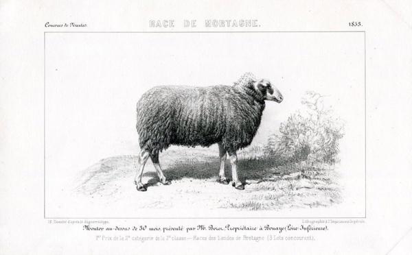 Mortagne-sur-Sèvre : berceau d'une race de moutons méconnue